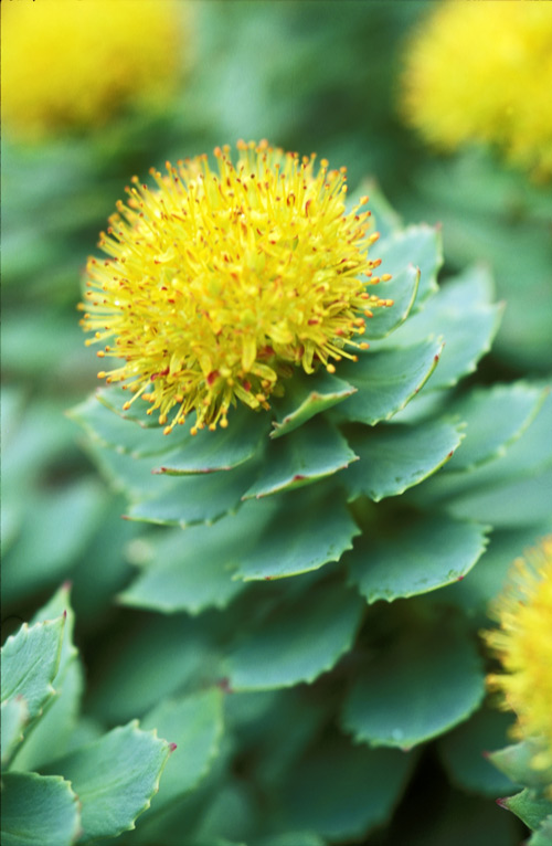 Rhodiola rosea – agricultural and medicinal plant of the Vikings